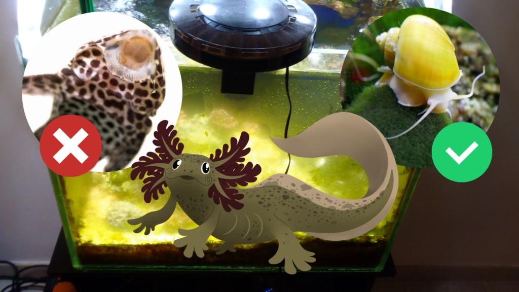 alghe acquario axolotl