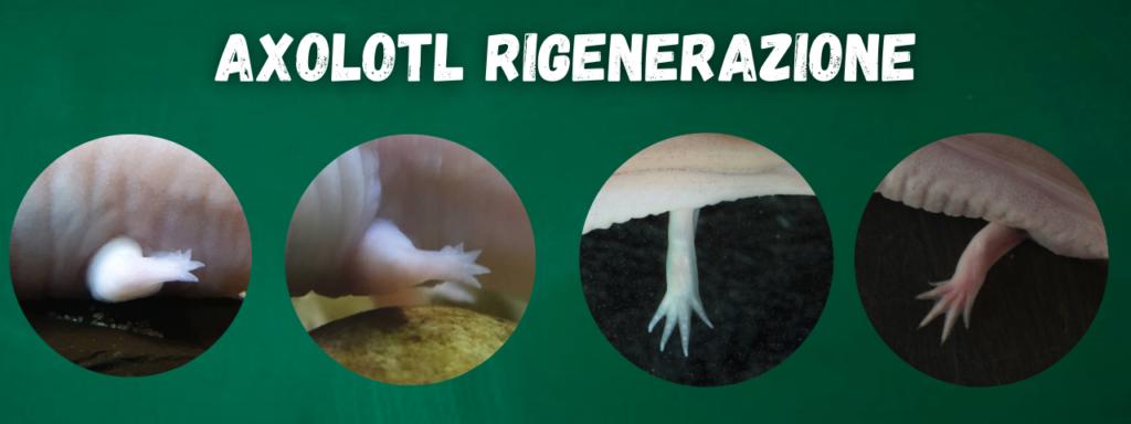 axolotl rigenerazione