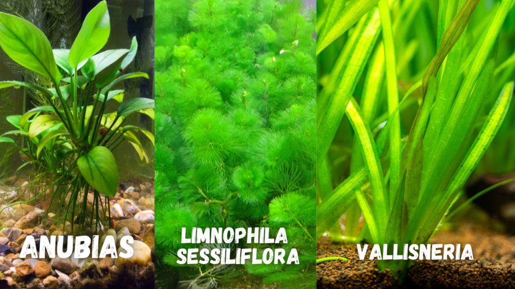 piante acquario axolotl