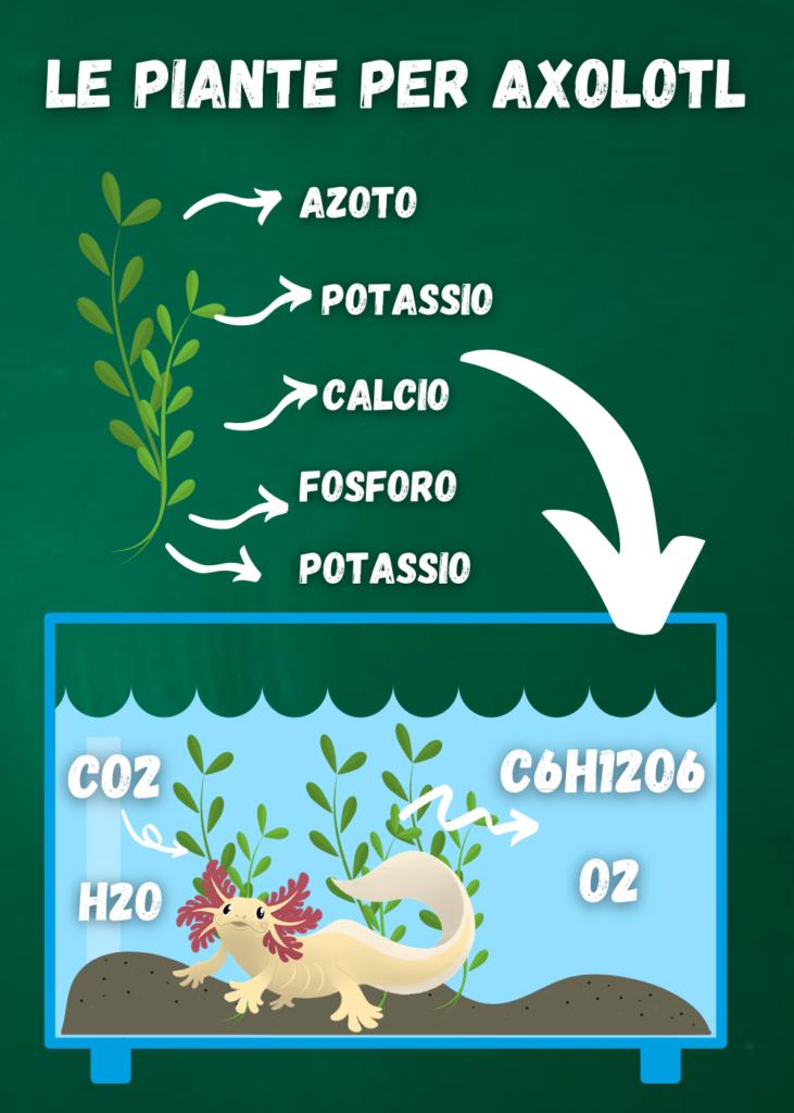 piante per acquario acqua dolce axolotl