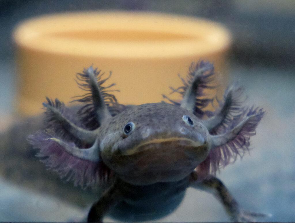 vendita axolotl milano
